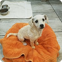 Adopt A Pet :: christmas - Las Vegas, NV