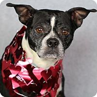 Adopt A Pet :: Mazey - Minneapolis, MN