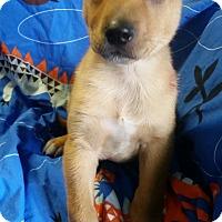 Adopt A Pet :: Mini Mac - Los Angeles, CA