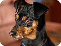 Miniature Pinscher Dog for adoption in Huntington Beach, California - Titan