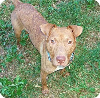 American Pit Bull Terrier Mix Dog for adoption in Nashua, New Hampshire - Star