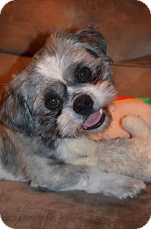 Shih Tzu Dog for adoption in Wytheville, Virginia - Monroe