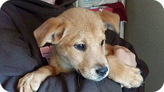 Retriever (Unknown Type)/Labrador Retriever Mix Puppy for adoption in Houston, Texas - Jace
