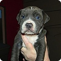 Adopt A Pet :: Blue and White Boys! - Seattle, WA