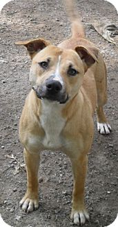 Staffordshire Bull Terrier Dog for adoption in New Boston, Michigan - Jackie