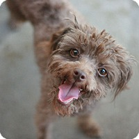Adopt A Pet :: Angel - Canoga Park, CA