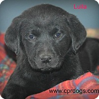 Adopt A Pet :: Lulla - Glastonbury, CT