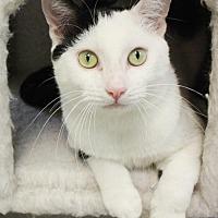 Domestic Shorthair Cat for adoption in New York, New York - Ashanti (Manhattan)