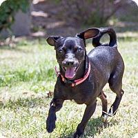 Adopt A Pet :: Paco - Encino, CA