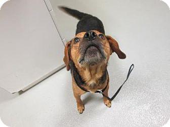 Beagle Mix Dog for adoption in Cumming, Georgia - Jasper