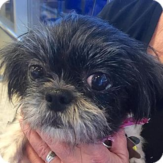Shih Tzu Mix Dog for adoption in Euless, Texas - Belle Starr