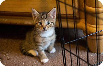 American Shorthair Kitten for adoption in Morgantown, West Virginia - Jason