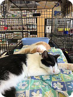 Domestic Shorthair Kitten for adoption in Keller, Texas - Domino