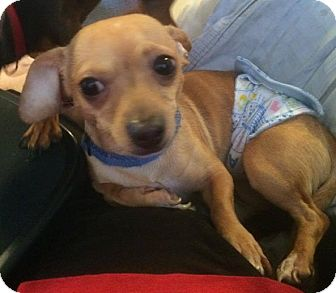 Chihuahua Mix Dog for adoption in Homer, New York - Toby