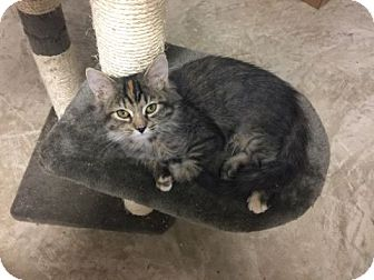 Maine Coon Kitten for adoption in Columbia, Tennessee - Cleopatra