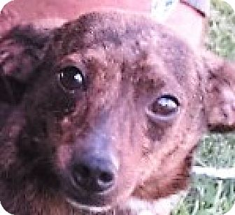 Chihuahua Mix Dog for adoption in Germantown, Maryland - Tippy