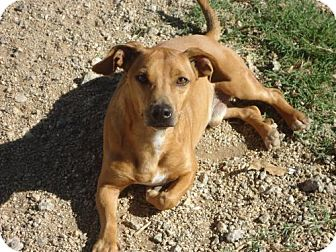 Jack Russell Terrier/Dachshund Mix Dog for adoption in Spartanburg, South Carolina - Coco of Lavonia HW +
