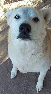 Siberian Husky/Shepherd (Unknown Type) Mix Dog for adoption in Las Vegas, Nevada - Foxy