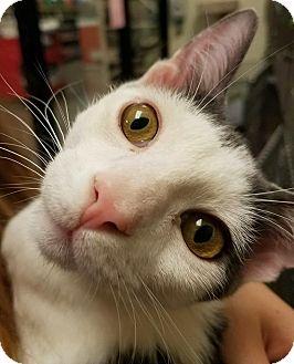 Domestic Shorthair Cat for adoption in Santa Ana, California - Alfalfa