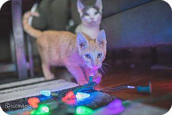 Domestic Shorthair Kitten for adoption in Columbus, Ohio - Buff Boy