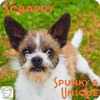 Jack Russell Terrier/Chihuahua Mix Dog for adoption in Washburn, Missouri - Scrappy