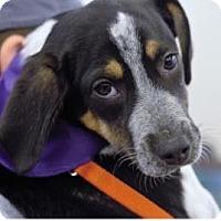 Adopt A Pet :: Guy - Springfield, MO