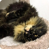 Adopt A Pet :: Zsa Zsa - North Las Vegas, NV