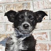 Adopt A Pet :: Magic *Chrissie's Puppy* - Gretna, NE
