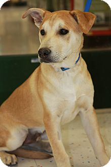Labrador Retriever/Husky Mix Puppy for adoption in Phoenix, Arizona - Riley