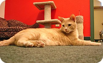Domestic Shorthair Cat for adoption in Fountain Hills, Arizona - BUFF
