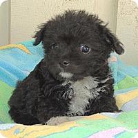 Adopt A Pet :: Meg - La Habra Heights, CA