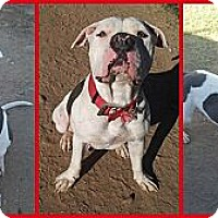 Adopt A Pet :: Cupid - Scottsdale, AZ
