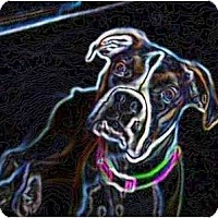 Adopt A Pet :: All Available Boxers - Thomasville, GA