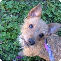 Adopt A Pet :: Sydney - No.Charleston, SC