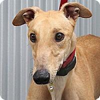 Adopt A Pet :: Savvy - Santa Rosa, CA