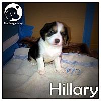Adopt A Pet :: Hillary - Novi, MI