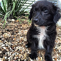 Adopt A Pet :: Aramis - Austin, TX