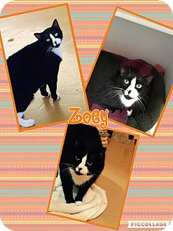 Domestic Shorthair Cat for adoption in Goshen, New York - Zoey