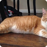 Adopt A Pet :: King Kitty - Garland, TX