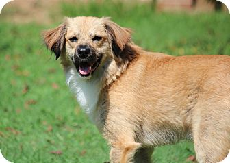Australian Shepherd/Collie Mix Dog for adoption in Yadkinville, North Carolina - Ozzy