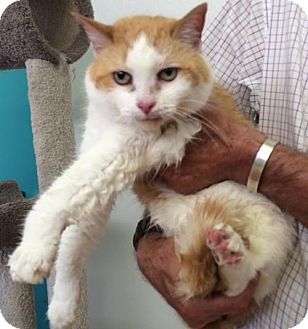 Domestic Shorthair Cat for adoption in Harrisonburg, Virginia - Baby