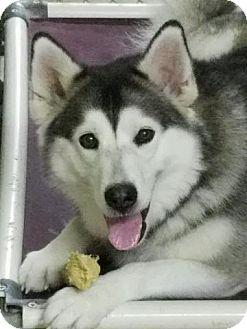 Siberian Husky/Alaskan Malamute Mix Dog for adoption in Augusta County, Virginia - Daisy