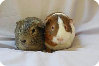 Guinea Pig for adoption in Monrovia, Maryland - Lukas