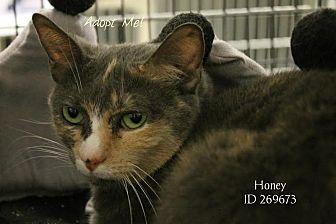 Domestic Shorthair Cat for adoption in Camden, Delaware - Honey