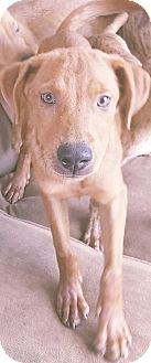 Labrador Retriever Mix Puppy for adoption in Phoenix, Arizona - Karl