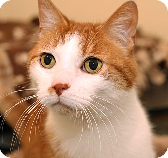 Domestic Shorthair Cat for adoption in Royal Oak, Michigan - ERNIE