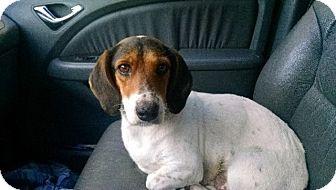 Beagle Mix Dog for adoption in Alexandria, Virginia - Pretzel