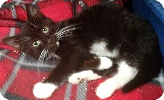 Domestic Shorthair Kitten for adoption in Santa Fe, New Mexico - Annie