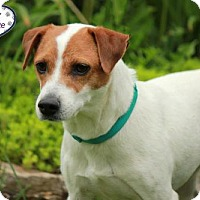Adopt A Pet :: Lily - Lee's Summit, MO