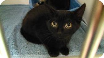 Domestic Shorthair Kitten for adoption in Queenstown, Maryland - scarry
